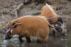 Red river hog Potamochoerus porcus Stock Photography