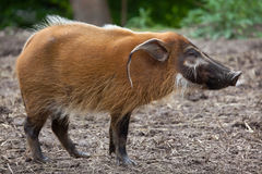 Red river hog Potamochoerus porcus Stock Photo