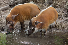 Red river hog Potamochoerus porcus Stock Image