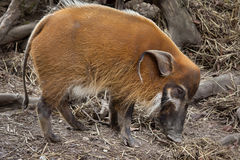 Red river hog Potamochoerus porcus Royalty Free Stock Image