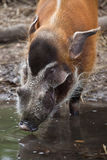 Red river hog Potamochoerus porcus Stock Photo