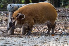 Red river hog, Potamochoerus porcus, also known as the bush pig. stock photo