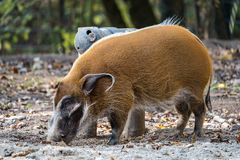 Red river hog, Potamochoerus porcus, also known as the bush pig royalty free stock photo
