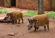 The red river hog Potamochoerus porcus, also known as the bush pig royalty free stock image