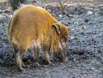 Red river hog, Potamochoerus porcus, also known as the bush pig royalty free stock photography