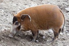 Red river hog (Potamochoerus porcus) Royalty Free Stock Image
