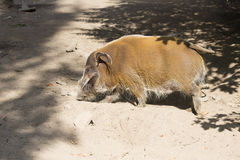 Red river hog Potamochoerus porcus, the brightly colored Stock Photos