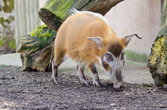Red River Hog Potamochoerus Porcus royalty free stock photo
