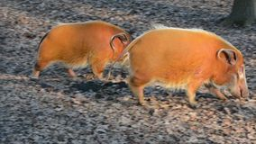Red river hog (Potamochoerus porcus). Is exploring the forest stock video