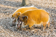 Red river hog (Potamochoerus porcus) Royalty Free Stock Images