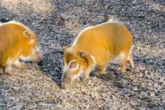 Red river hog (Potamochoerus porcus) royalty free stock photos