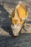Red river hog (Potamochoerus porcus) Stock Photos