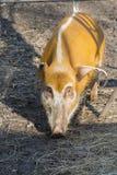 Red river hog (Potamochoerus porcus) Stock Photos