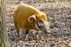 Red river hog (Potamochoerus porcus) Royalty Free Stock Photography