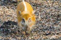 Red river hog (Potamochoerus porcus) stock images