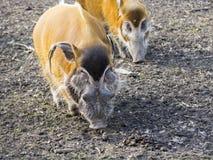Red river hog (Potamochoerus porcus) stock photography