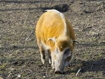 Red river hog (Potamochoerus porcus) Stock Image