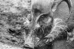 The red river hog Potamochoerus porcus Royalty Free Stock Photography