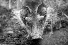 The red river hog Potamochoerus porcus. Royalty Free Stock Images