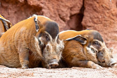 Red River Hog, Potamochoerus porcus pictus Stock Image