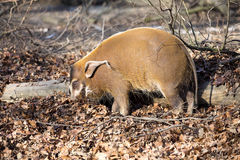Red river hog, Potamochoerus porcus pictus, is the best representative of pigs Stock Photos