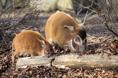 Red river hog, Potamochoerus porcus pictus, is the best representative of pigs Stock Photography