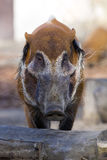 Red river hog, Potamochoerus porcus pictus, is the best representative of pigs Royalty Free Stock Photos