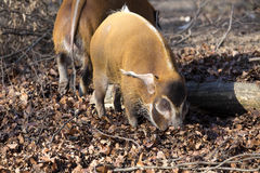 Red river hog, Potamochoerus porcus pictus, is the best representative of pigs Stock Images