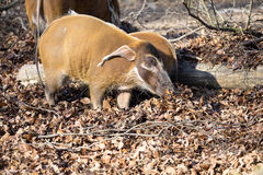 Red river hog, Potamochoerus porcus pictus, is the best representative of pigs Royalty Free Stock Photography