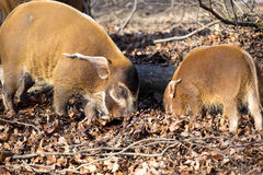 Red river hog, Potamochoerus porcus pictus, is the best representative of pigs Stock Image