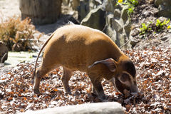 Red river hog, Potamochoerus porcus pictus, is the best representative of pigs Royalty Free Stock Image