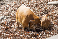 Red river hog, Potamochoerus porcus pictus, male with young Royalty Free Stock Photo