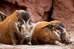 Red River Hog, Potamochoerus porcus pictus Stock Photo