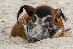 Red River Hog Royalty Free Stock Photo
