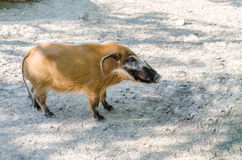 Red river hog side view Stock Images