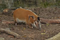 Red River Hog in Singapore Zoo. The picture shows a Red River Hog in the Singapore zoo, wandering around its cage Royalty Free Stock Photos