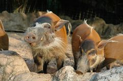 Red River Hog smiled Royalty Free Stock Photo