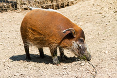 Red river hog standing Stock Photos