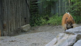 Red River Hog. In Toronto zoo stock video