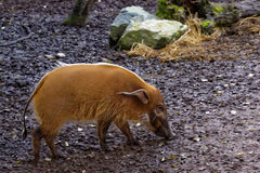 Red river hog Stock Image