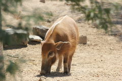 Red river hog (Potamochoerus porcus) Stock Image