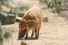 Red river hog (Potamochoerus porcus) Stock Photography