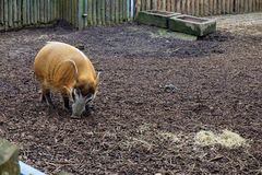 Red river hog in the zoo of Landau royalty free stock images