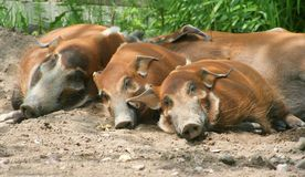 Red River Hogs. A family of red river hogs sleeping Royalty Free Stock Photography