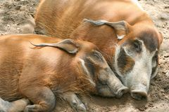 Red River Hogs. Two red river hogs sleeping Stock Photography