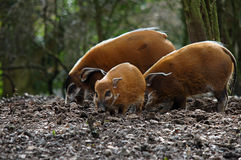 Red river hogs in forest pig Stock Image