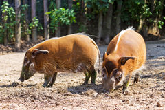 Red river hogs Stock Images
