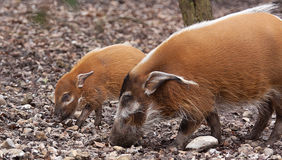 Red river hogs Royalty Free Stock Photography