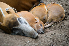 Red river hogs pigs. Sleepieng Royalty Free Stock Photos