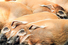 Red River Hogs, Potamochoerus porcus Royalty Free Stock Images